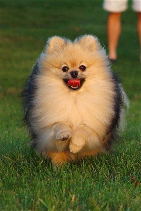 puppyhood a trained puppy a happy owner the pomeranians puppy tips and free puppies on