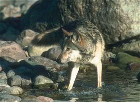 Sle Petition On Threat To Gray Wolf Biology Questions And Answers Us Fish And Wildlife Rachael Edwards