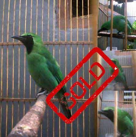 Harga Pakan Burung Topsong cucak hijau jatim gacor spesial pasar burung bogor