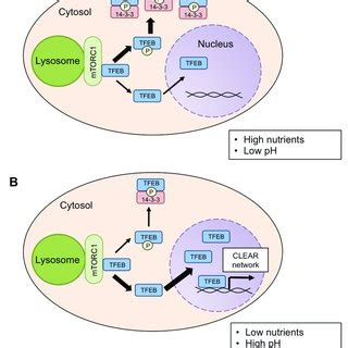 mechanisms of tfeb activation a. tfeb is inactivated under