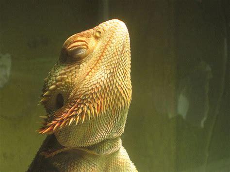 bearded dragon basking light bearded dragon lighting clubfauna