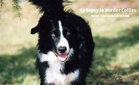 border collie puppies indiana epilepsy in border collies what you need to the guild of shepherds collies