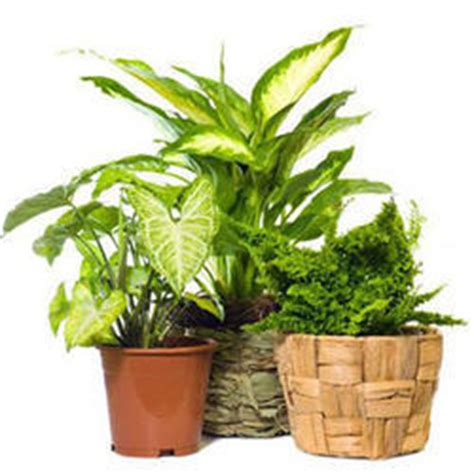indoor plants india indoor plants in mumbai maharashtra suppliers dealers retailers of indoor plants