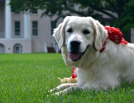 carolina golden retrievers therapy nc therapy by camelot