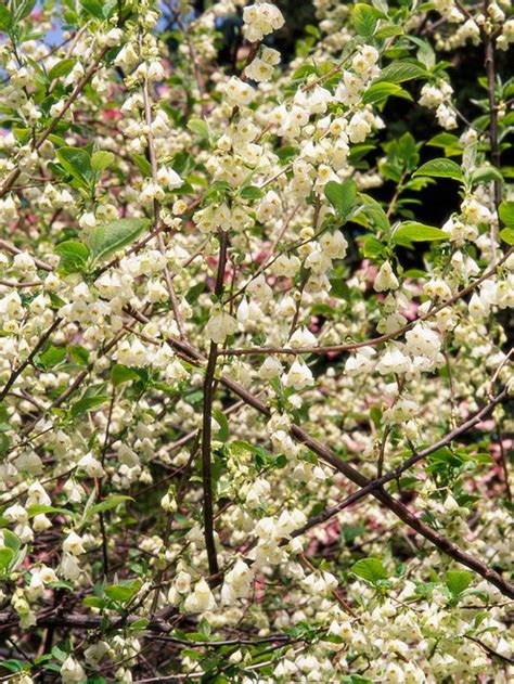 early pink flowering shrubs 90 best images about landscaping small trees on
