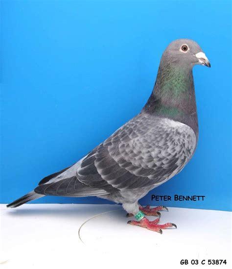 Pigeon 2 Pa de 15 bedste billeder fra brevduer p 229 auktion at tegne og kreativt h 229 ndarbejde