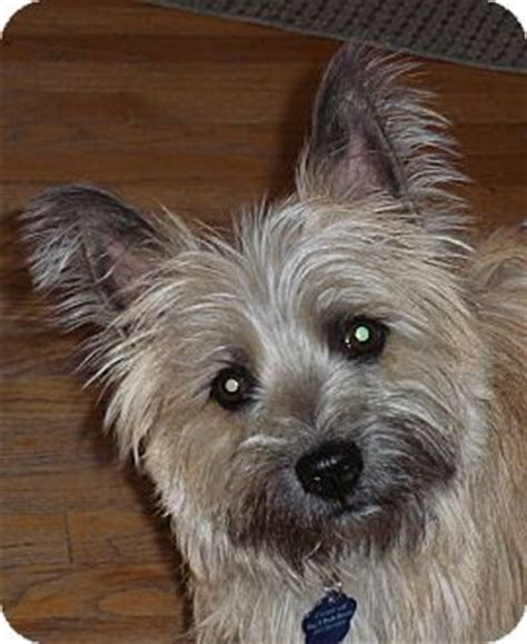 dogs for adoption in nebraska mac pending adoption adopted omaha ne cairn terrier