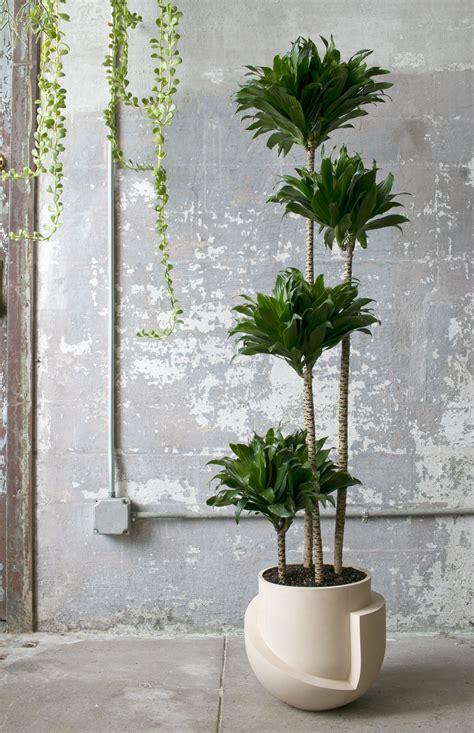finally  oversized planters worthy   fiddle leaf