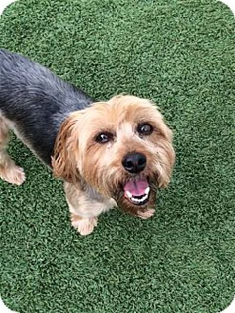 yorkie rescue dallas tx dallas tx yorkie terrier mix meet harley a for adoption