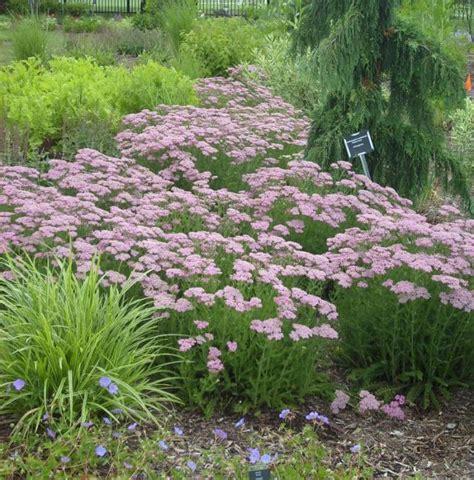 Garden Yarrow Common Yarrow Umass Amherst Greenhouse Crops And