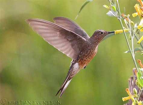 giant hummingbird patagona gigas flickr photo sharing