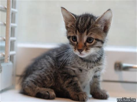 rescue chicago a guide to kittens for adoption chicago irkincat