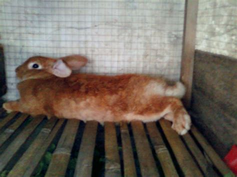 Jual Lu Hias Cirebon jual kelinci hias pedaging kontes