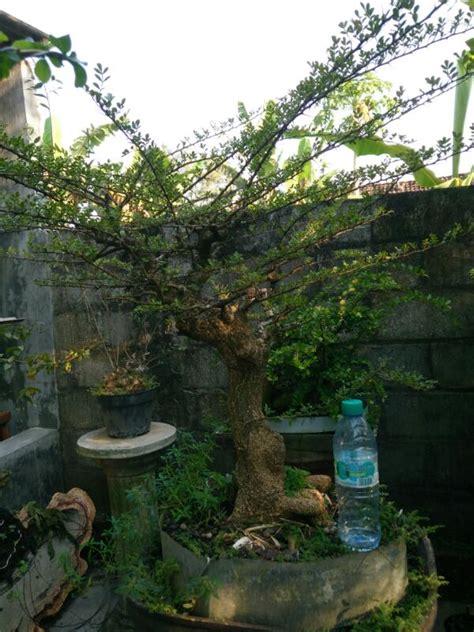 Jual Bakalan Bonsai Kawista 286 kawista jual bonsai murah pohon tanaman