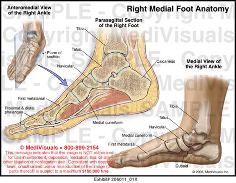 sections of the foot medivisuals foot and toe anatomy medical illustration exhibits