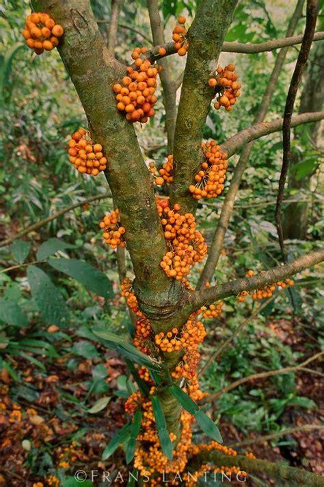 fruiting fig tree fruiting fig tree mt kinabalu national park sabah