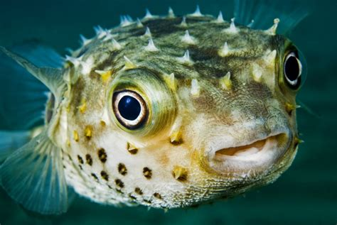 Puffer Fish L puffer fish the of animals