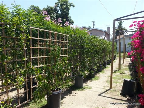 related keywords suggestions for espalier vines