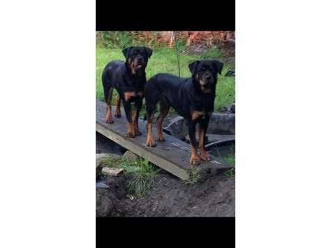 rottweiler breeders in chennai beautiful pedigree rottweiler puppies for sale chennai free classifieds for