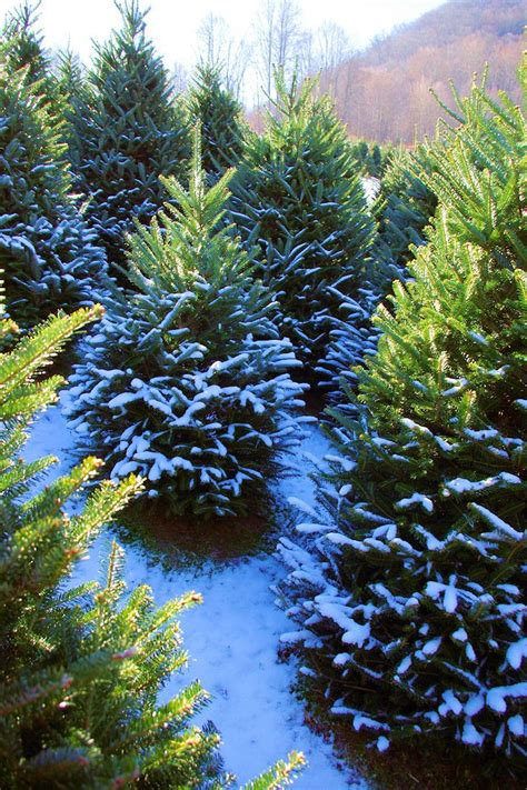 christmas tree farm in the north carolina mountains near