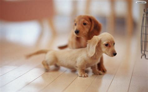 pichers of puppys wallpapers of puppies wallpaper cave