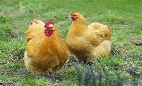 The Lay Egg Hen best chicken breeds for laying eggs home farmer
