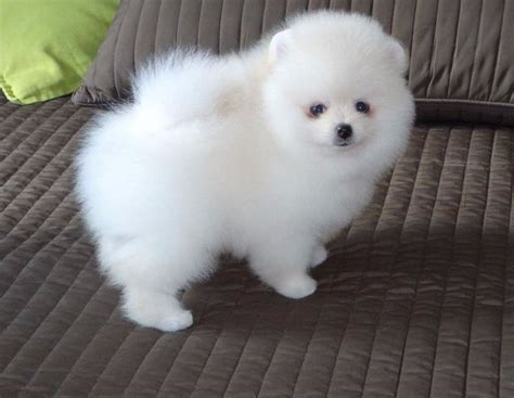 price of teacup pomeranian white teacup pomeranian price