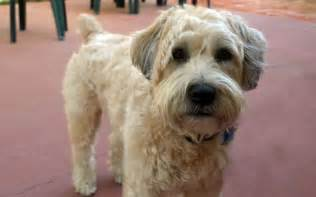 wheaten haircuts wheaten terrier haircut styles wheaten terrier haircut
