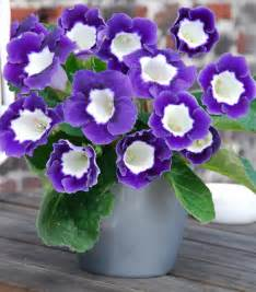 Send Flowers Delivery - gloxinia princess elisabeth for sale buy online for price
