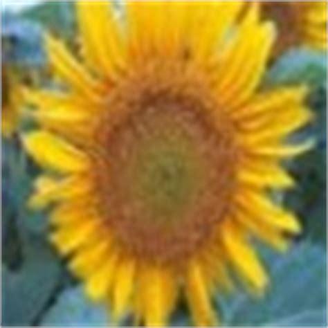 black sunflower seeds maturity sunflower seed black flower garden seed