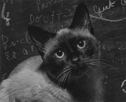 actress cat or paris cat 228 best images about celebrity siamese cats on pinterest