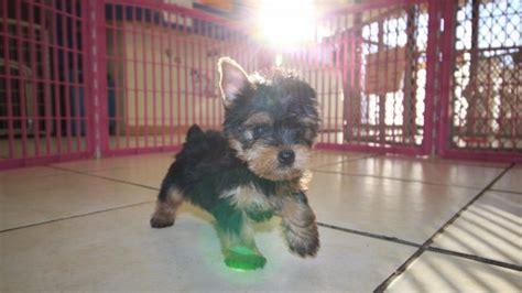 yorkie for sale in atlanta adorable teacup yorkie terrier puppies for sale in atlanta ga at puppies for sale