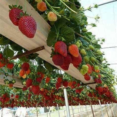 Gutter Strawberry Planter by Bonus Idea Recycled Gutters Elevated Strawberry