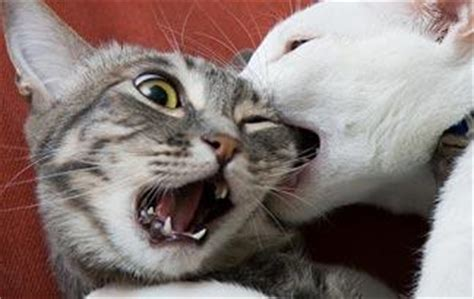 7 Ways To Stop A Cat Fight by 5 Tips To Stop Cats From Fighting Animal Planet