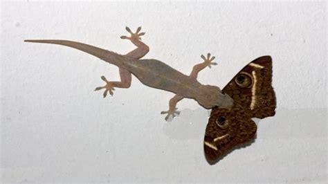 buy house gecko buy house gecko 28 images mediterranean house gecko