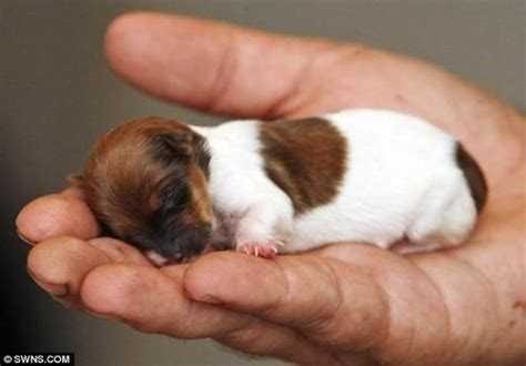 palm puppies 22 of the tiniest puppies born