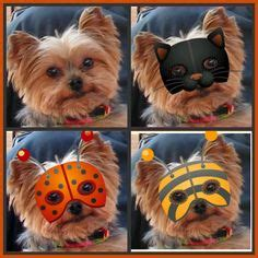 teacup yorkie costumes yorkie on yorkie terrier and costumes