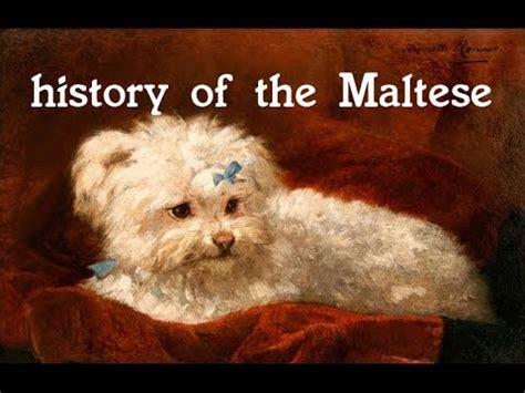 history of dogs history of the maltese