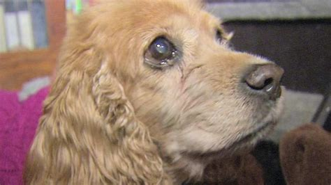 nj puppy rescue new jersey rescue home takes in aging ailing dogs