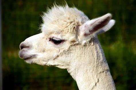 imagen gratis animal alpaca llama lindo retrato la cabeza