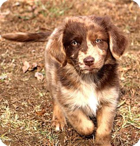 australian shepherd golden retriever mix adoption glastonbury ct australian shepherd golden retriever mix meet adopted a