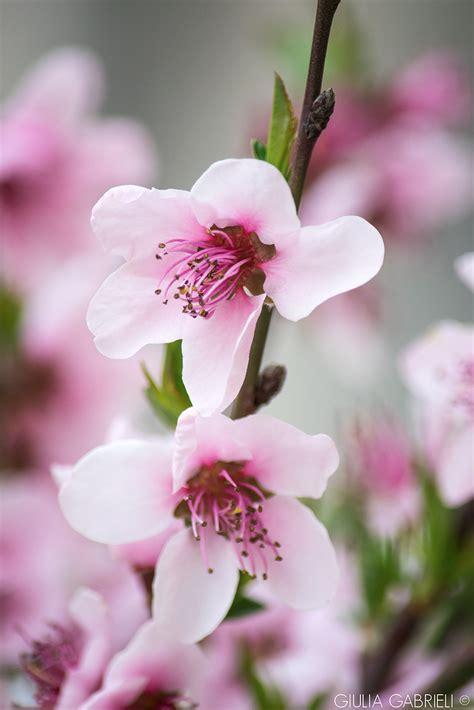 fiori di pesco fiori rosa fiori di pesco sprea fotografia
