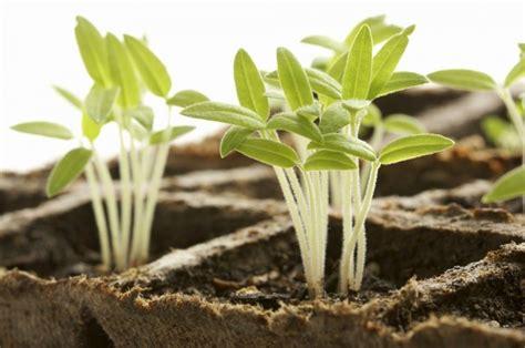 tomaten wann pflanzen tomaten pflanzen wann ist die ideale pflanzzeit