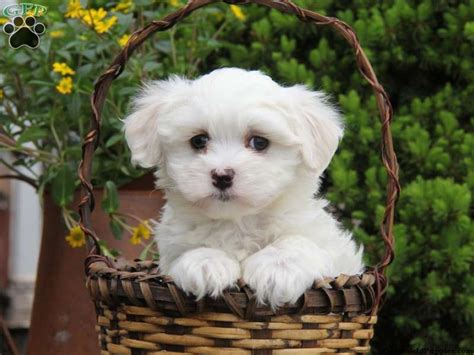 maltese puppies for sale in pa 146 best images about teacup maltese for sale on