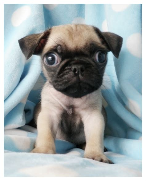 south florida pug rescue teacup pugs for sale in florida breeds picture