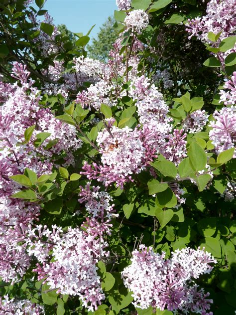 1000 images about spring summer flowering shrubs on