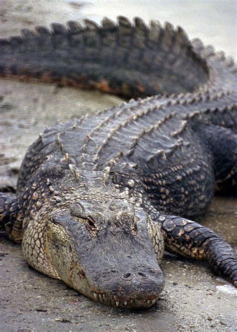 NASA - John F. Kennedy Space Center - Alligators and ...