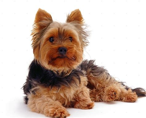 animal pictures category terrier on animal picture society