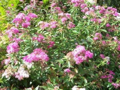 spirea shrubs gardeners tips