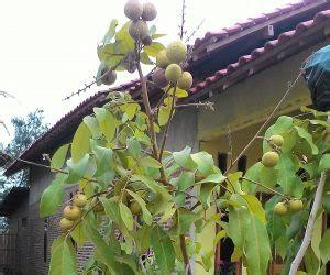 Pupuk Kalsium Untuk Mangga dosis takaran npk 16 16 16 untuk tanaman buah kelengkeng